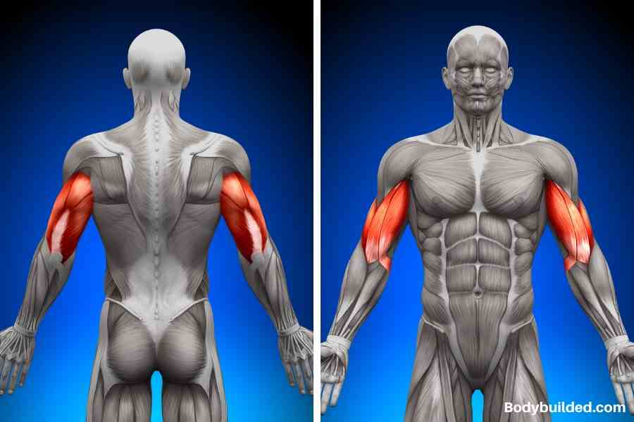 Anatomy of arms: biceps and triceps