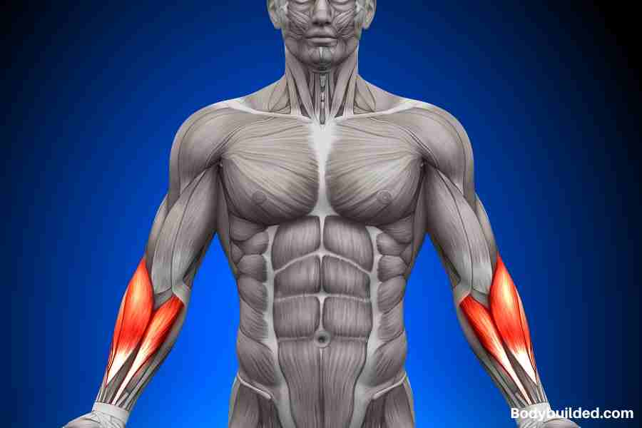 Anatomy of forearms